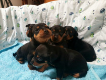 Pui pinscher pitic