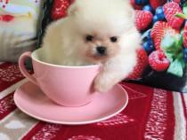 Poze reale Pomeranian Max 2 kg la maturitate