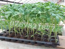 Rasad de rosii si alte rasaduri legume