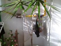 Palmier yucca natural