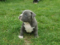 American bully cu pedigree ABKC