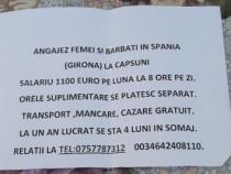 Muncitori cules capsuni in Spania