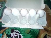 Pentru incubat Oua și pui australop ameraucană găini tinere