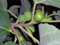 Smochin - ficus carica  , planta  1,5 - 1,7 m