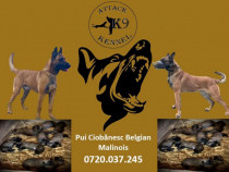 Pui ciobanesc belgian malinois