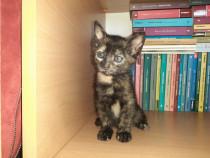 Pui de pisica Tortoiseshell 6 saptamani