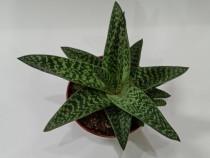 Planta suculenta mare, aloe variegata