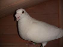 Porumbei voiajori inelati - albi si maturi