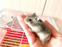 Hamster Pitic Blond Tarcat