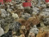 Pui de găină rasa mixtă 1,2-1,4 kg