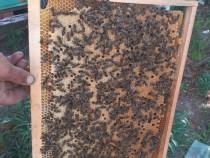 Familii sau roiuri de albine