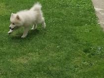 Pomeranian talie mica
