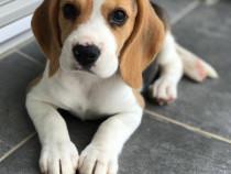 Catel Beagle de rasa foarte jucaus si prietenos