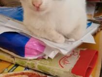 Pisici-Pufoșii simpatici-adoptie