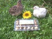 Oua Prepelita incubat și consum