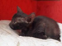 Dovlecel pui pisic negru