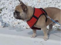 Bulldog Francez Crem