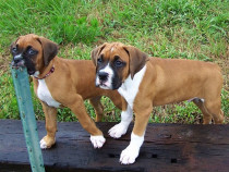 Boxer German