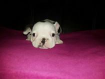 Bulldog Buldog Francez Pui