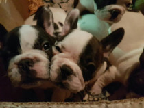 Fetite bulldog francez