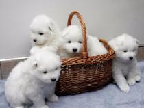 Samoyed, albi imaculati, foarte pufosi, 2 luni