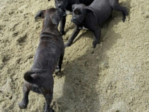 Pui Cane Corso cu pedigree