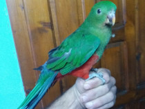 Papagali alexandar mare si mic