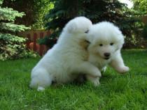 Samoyed, albi imaculati, pui la 2 luni