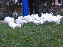 Porumbei albi pentru evenimente pachet complet covor rosu