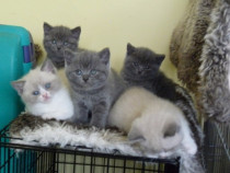 British Shorthair Blue, pisica cu par scurt, foarte blanda