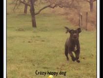 Monta cane corso