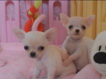 Chihuahua de buzunar preț mic calitate foarte bună