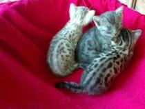 Pui pisica Bengaleza bengal rasa Pura Pedigree micul Leopard