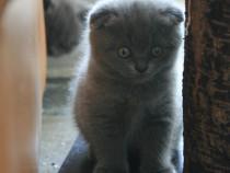 Pui pisica British Shorthair fold