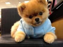 Pui Pomeranian Boo