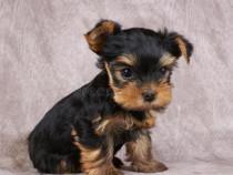 Yorkshire terrier toy 6 saptamâni