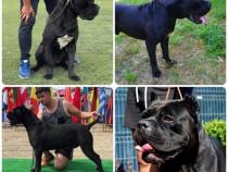 Pui negri Cane Corso cu pedigree