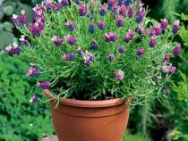 50 semințe Lavandă Franțuzească cu parfum intens și unic