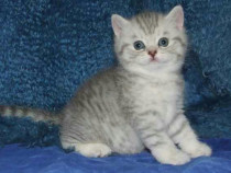 British shorthair silver chinchilla tabby whiskas
