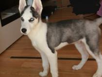 Husky Siberian ochii albastri (vaccinati+cip)