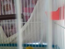 Papagali perusi