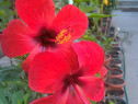 Trandafiri Japonezi, Palmieri, Lamai, Portocal, Smochini