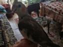 Papagal nimfa