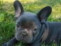 Pui de bulldog-buldog francez gri,blue,albastru