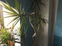 Palmier dracaena marginata