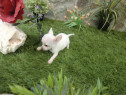 Chihuahua talie mini toy