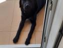 Femela labrador culoarea neagra