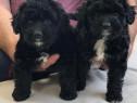 Caniche pudel poodle parinti cu pedigree