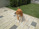Mascul Beagle tricolor montă