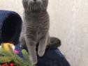 British shorthair pisicuta 8 luni